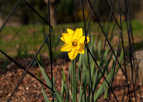 012 First Daffodil of the year! 4-9-19 | by The_Little_GSP