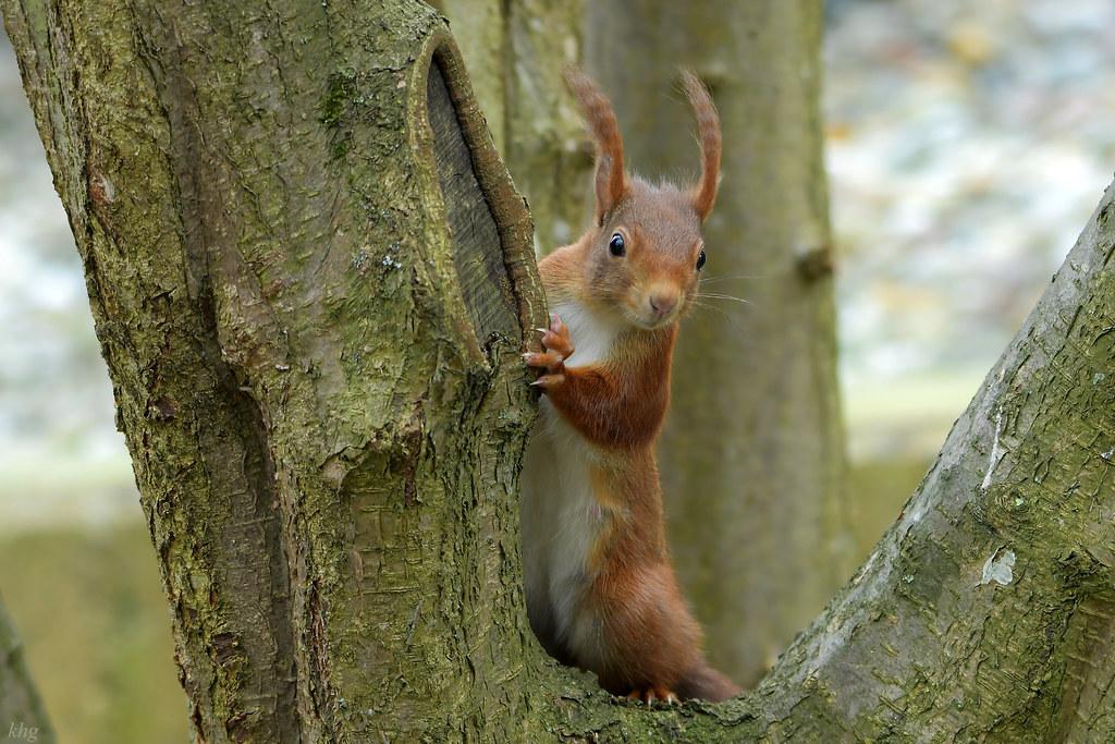 DSC_1043 Eichhörnchen - Red Squirrel   Wie immer siegt die