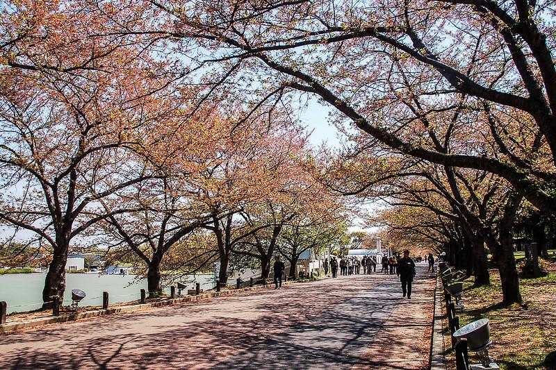 萬博公園櫻花 5