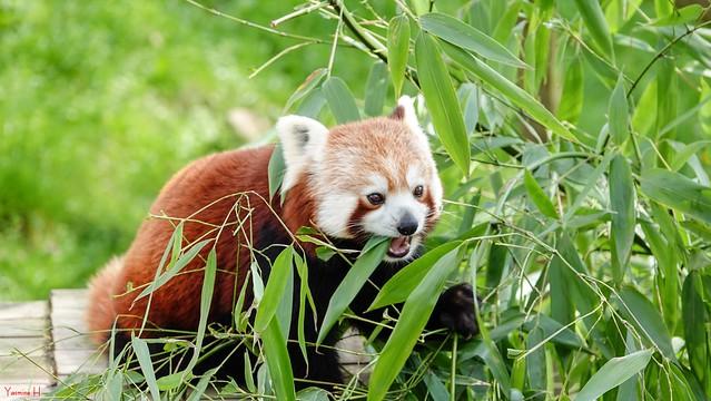 Panda Roux - 6665