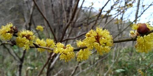 우지네골 봄꽃 산책길 | 생강나무