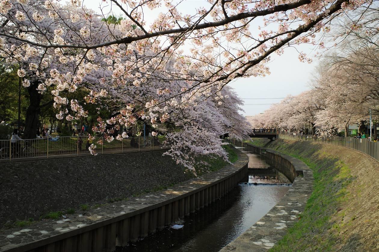 善福寺川の桜並木