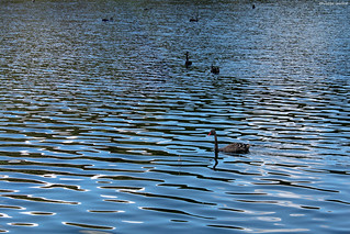 Cygnes noirs sur le lac Rotomahana | by philippeguillot21