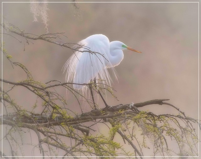 In the swamp...in the fog...Great Egret