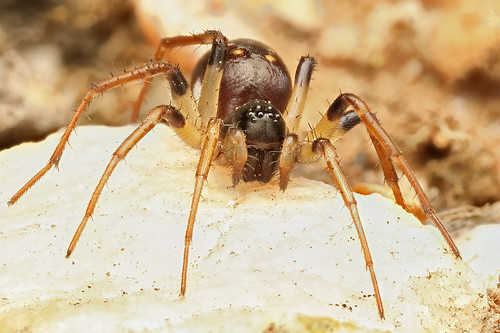 Ant-eating Spider - Habronestes sp?