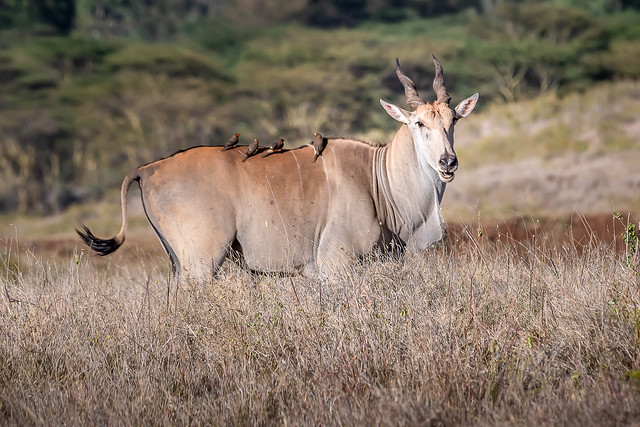 Eland with Red-Billed Oxpeckers