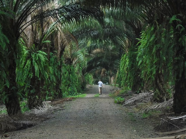 Palm Oil Plantation, Rio Bonito