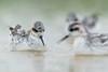 Red-necked Phalarope (Phalaropus lobatus) 紅頸瓣蹼鷸