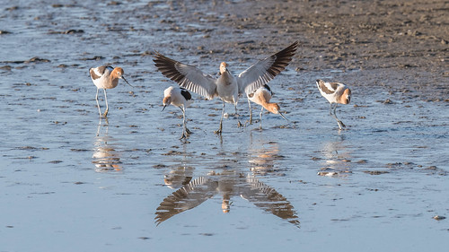 American Avocet (Recurvirostra americana) | by byjcb