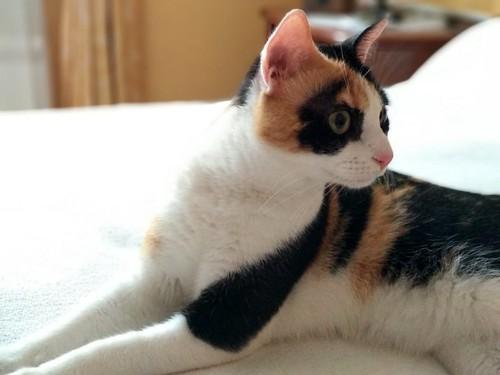 Ishtar, gatita tricolor Calicó súper cariñosa y juguetona esterilizada, nacida en Julio´17, en adopción. Valencia. 32936270078_aff421fb02