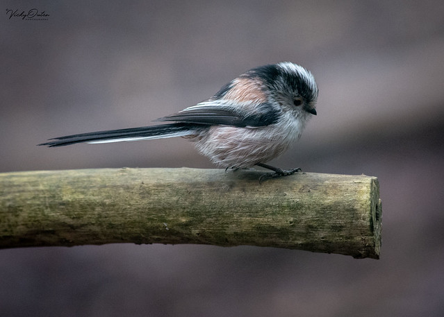 Long-tailed tit (Explored 23/01/19) #27