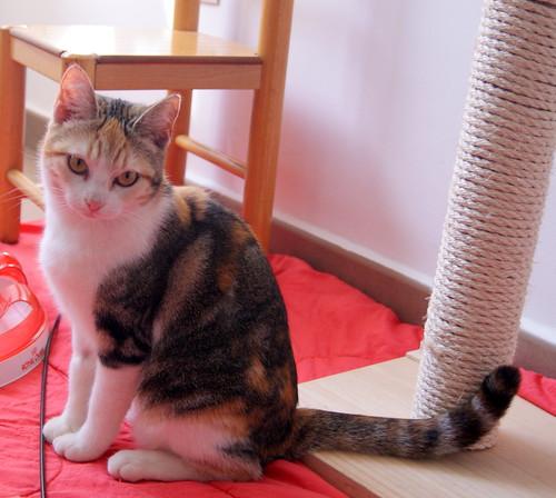 Zoe, gatita tricolor jaspeada divertida y guapa esterilizada, nacida en Septiembre´18, en adopción. Valencia. 33274713068_e8e25c45cc