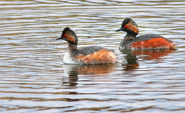 Pair of Black Necked Grebes