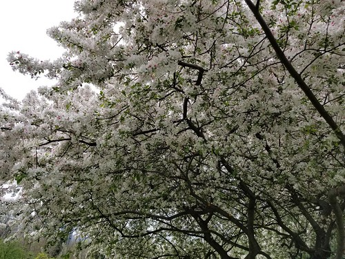 dogwood tree against the sky | by BryanAlexander