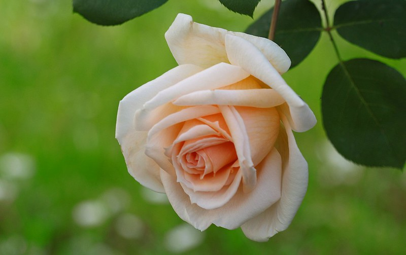 Обои макро, роза, бутон картинки на рабочий стол, раздел цветы - скачать