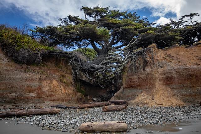 Tree of Life - Kalaloch Beach
