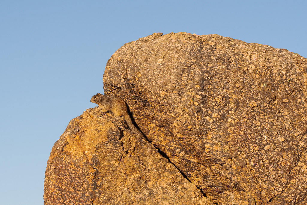 A rock squirrel perches on a large granite rock along the Latigo Trail in McDowell Sonoran Preserve in Scottsdale, Arizona