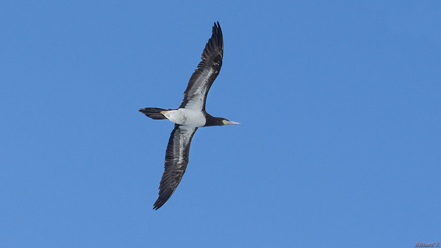 Oiseau de mer -  Fou brun, Brown booby - 9792