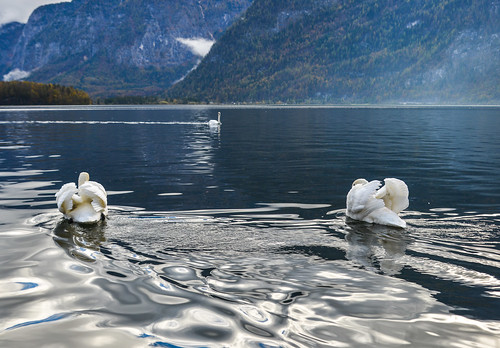 Beautiful swan swimming in crystal clear water | by phuong.sg@gmail.com
