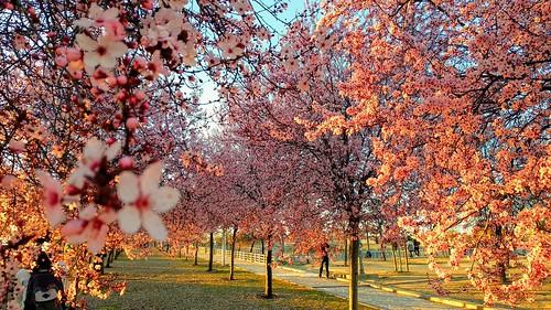 Almendros en flor en primavera | by Alba de Alba