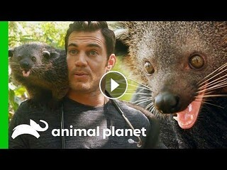 Dr. Evan Antin Bonds with an Incredibly Friendly Palawan Bearcat   Evan Goes Wildhttp://https://t.co/KdOzTnL7aj In the Philippines, Evan visits a Butterfly Eco Garden where he gets a once in a life time opportunity to play with a palawan bearcat and g… ht   by kariletowa