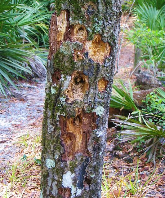 Old worn pine tree 2751