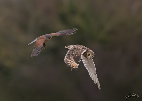 Kestrel comes away with the Short Eared Owls catch | by Howard Kearley Photography