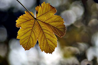 Backlit leaf | by noelcmn