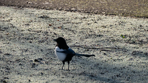 Magpie on a frosty lawn