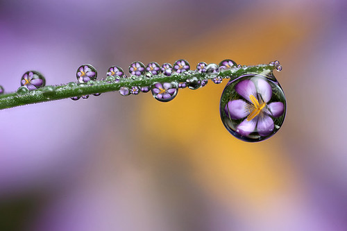 Crocus dewdrop refraction #1 | by Lord V
