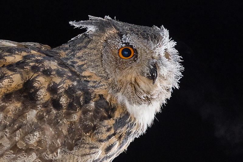 Eagle Owl 8072