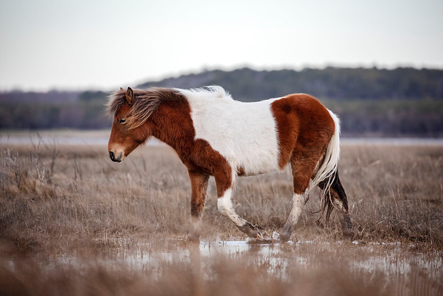 Cruising the Salt Marsh or Assateague...