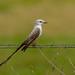 Scissor-Tailed Flycatcher by Roger Hickey