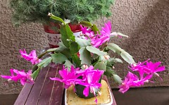 Christmas cactus bloomed on Christmas and New Year's Eve.