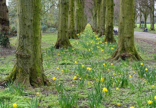 Last of the daffs at Haslam Park | by Tony Worrall
