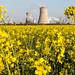 Yellow rapeseed field Saltend 2