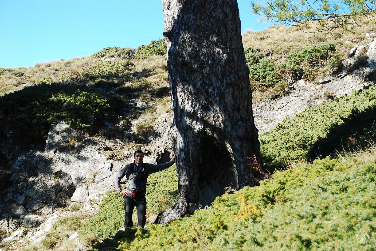 Un pino espectacular con un resiego
