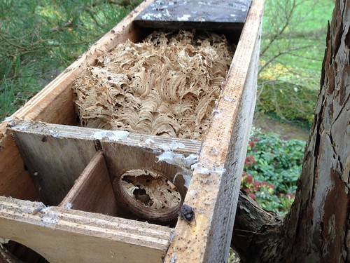 Verlaten hoornaarsnest nog in de kast