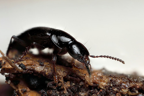 Rove beetle #2 | by Lord V