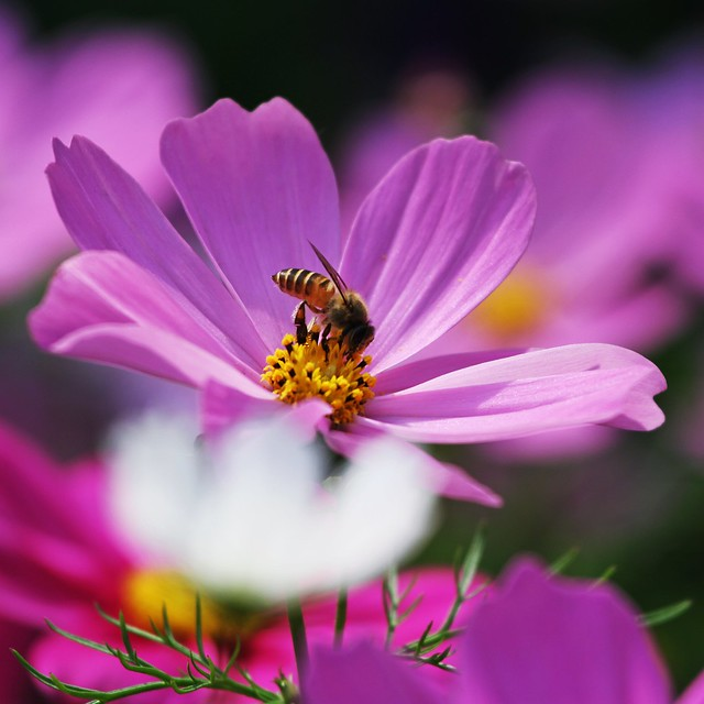 Bee on a cosmos