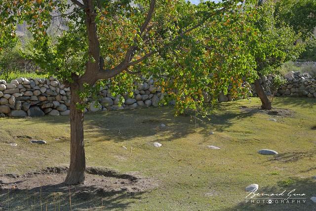 Verger et abricotiers dans le village de Passu © Bernard Grua