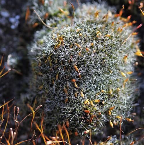 Grimmia pulvinata  46816359084_155163d1f4