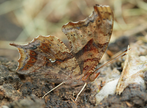 insect lepidoptera butterfly nymphalidae nymphalinae polygonia polygoniainterrogationis questionmark northcarolina piedmont canonef100mmf28macrousm bmna nc may inaturalist wingwednesday