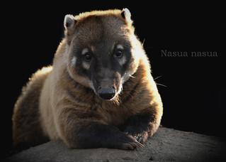 アカハナグマ:Ring-tailed Coati