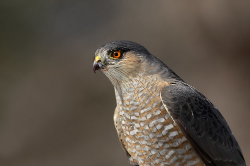 Sharp-shinned Hawk   by Rob & Amy Lavoie