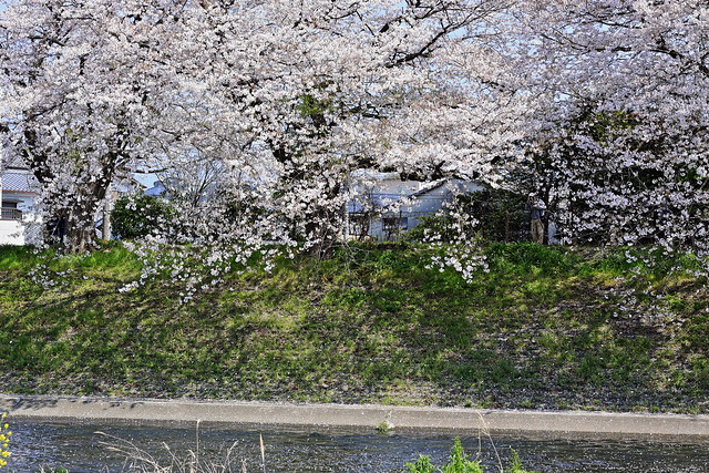 A flurry of cherry blossoms blown in the wind is really romantic.
