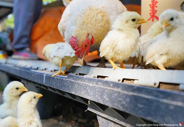 20190407_00452a_母雞帶小雞