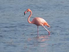 American Flamingo, St Marks NWR, Florida, 3/10/2019