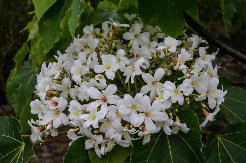 油桐花 1