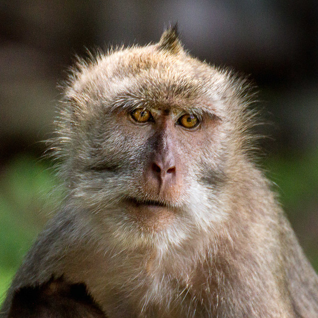 Long-tailed macaque, Baluran national park, Indonesia